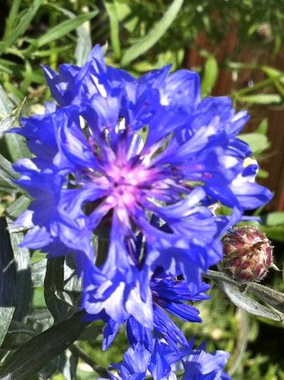 The blue Cornflower (Centaurea cyanus) was a part of a blue/white flower mix that I picked up. It's actually one of the few flowers that have a truly blue shade.