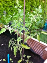 I'd read that tomato branches will root if planted; thought why not try?