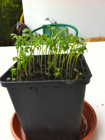 Got some Garden Cress going too. Hubby loves it in salads and sandwiches.