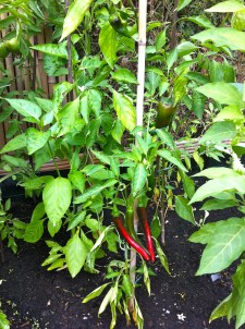 The chilies are coming into their color. If we get a couple of sunny days, I get to pick a couple every few days; if it's rainy and overcast like this week, they just sort of sit there not ripening (kinda like the sweet pepper above them). Still, I think we can hang on til October.