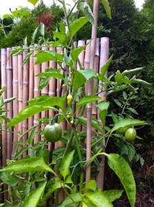 Finally, the Kosovo paprika produced a fruit; but with this cold, I doubt it'll fill out and ripen. Next year, they get more sun!