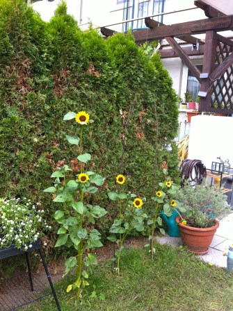 The sunflowers are blooming and blooming - adding a bit of color to these drab days.
