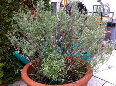 The Spanish Lavender continues to fill out; I'm really hoping for a late bloom.