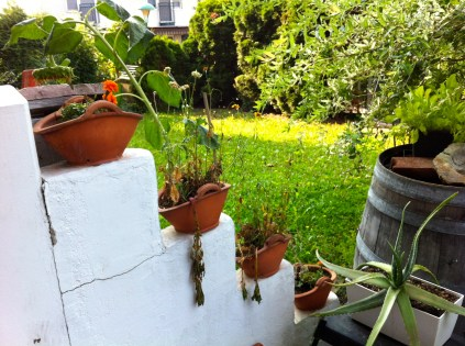 These clay pots in full sun are a death sentence to any plant - considering cacti for next year.