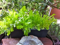 I finally put the tree that is shading out my herbs to good use - protect my salad from the scorching overhead sun. Of course, this will not work for a head of lettuce but at least we get to enjoy some tender greens this summer.