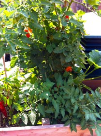 This San Marzano is such a heavy producer that I really only need one well-maintained plant for our two-person family.
