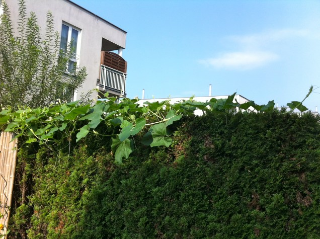 Interesting new development - my neighbor's squash plant is taking over the hedge.