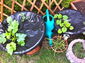 Yup, that's the zucchini & melon plants; that black plastic really holds heat in!