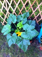 This zucchini flower greeted me early one morning when I went to turn on the drip system before work. I can't believe that it's flowering already! All signs seem go for a great harvest this year.