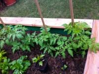 Three varieties of tomatoes - Green Zebra, German Gold, and Gelbe Dattelwein.