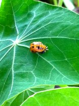 Then I noticed many of these on my Nasturtium (Kapuznerkressen) but no more of the little larvea...