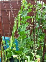 Both the Snowpeas and my Garden peas are heavy with fruit...now the wait.