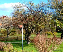 Apple Tree (6)