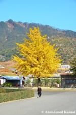 Ginkgo Tree In Sonbon, Rason, North Korea