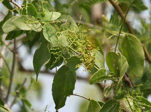 Author: J.M. Garg, Wikipedia Commons Salvadora persica tree (pilu tree)
