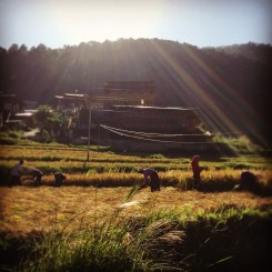 Rice fields, Punakha