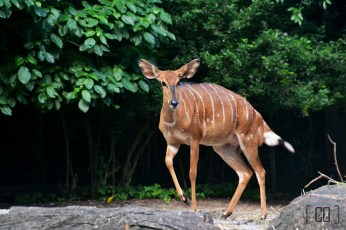 Deer at the Singapore Zoo | 05.25.14