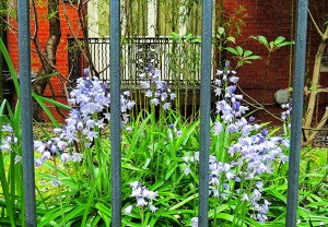Bluebells in Central London