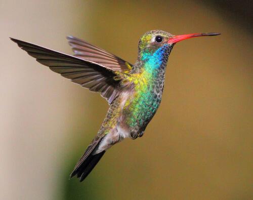 Otro colibrí favorito para observar en el Paton Center es el colibrí pico ancho.  Foto de Greg Homel / Natural Elements Productions
