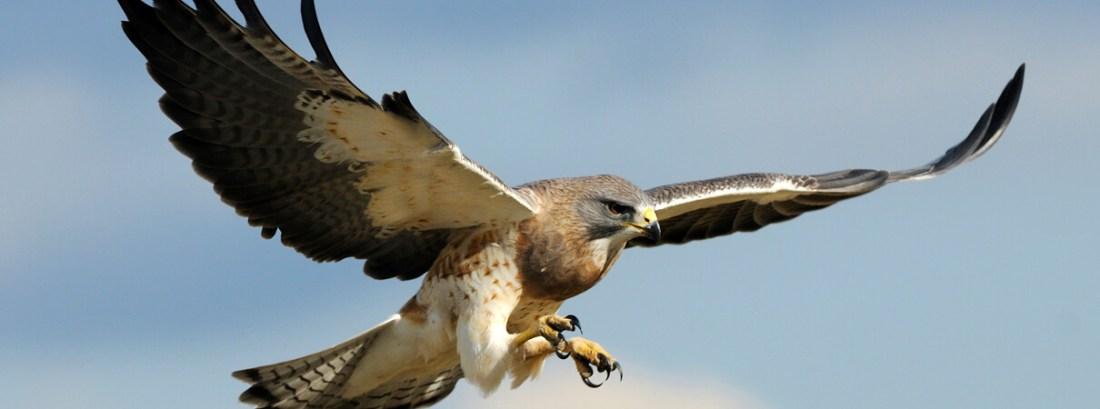 Hawk_Rob McKay_Shutterstock de Swainson
