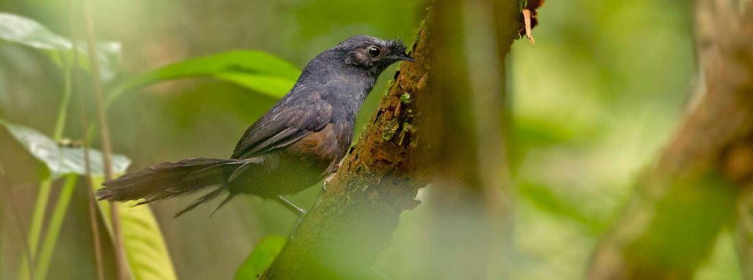 Stresemann's Bristlefront se encuentra entre las aves más raras.  Foto de Ciro Albano