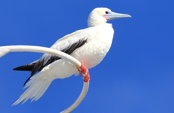 Red-footed Booby, Feathercollector, Shuttterstock