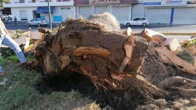 Photo of Ceiba colapsada en El Limón tenía plaga: Israel Campos