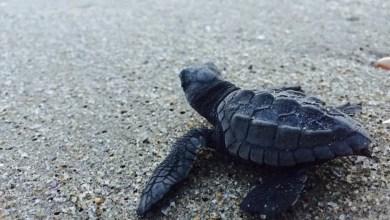 Photo of En puerta la temporada de anidación de tortugas marinas