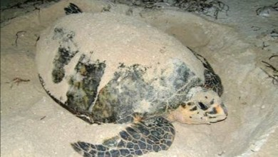 Photo of Se registran los primeros nidos de tortuga Carey en la isla de Ixtapa