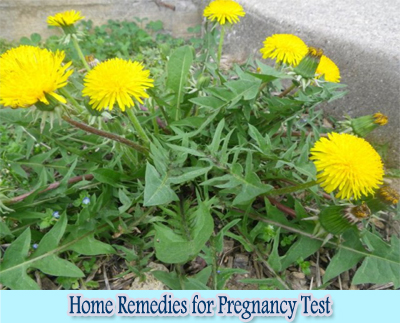 Dandelion Leaves : Home Remedies for Pregnancy Test