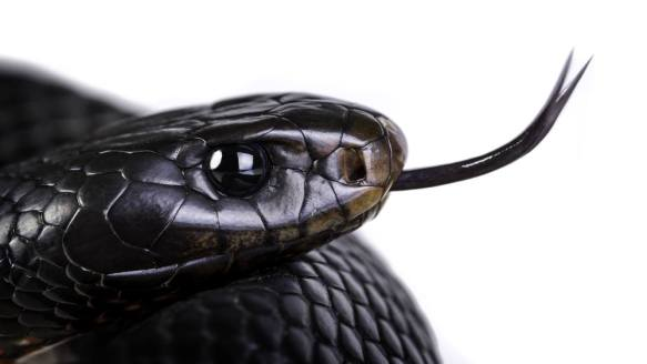 Saiba o que significa sonhar com cobra preta
