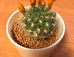 植物 | サボテン | 高品質で安いネイルサロンABCネイル 銀座店