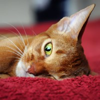 Abyssinian Cat Reflection