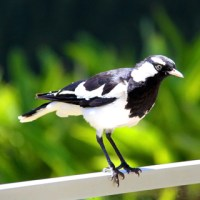 Magpie-Lark (Peewee) Reflection