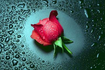 La rosa mas hermosa del jardin