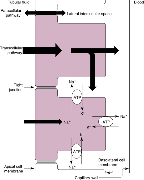 Renal Transport Mechanisms  Nacl And Water Reabsorption