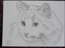 pencil sketch white cat (5)