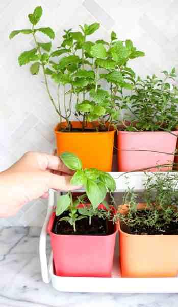 indoor herb garden Make a Colorful Indoor Herb Garden - A Beautiful Mess