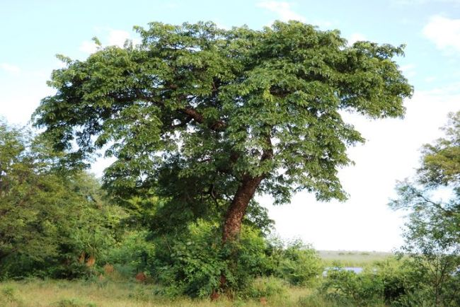 Marula Oil Tree