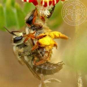 Abeja chilena, silvestre o nativa de Chile wild bee Fundación Abejas de Chile créditos Pablo Vial Valdés