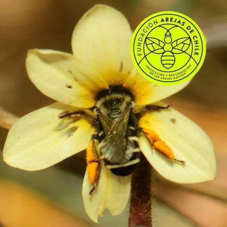 Abeja aceitera Chalepogenus rozeni (Apidae) hembra, forrajeando un parche floral de Sisyrinchium