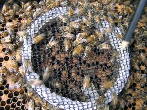 Estudo indica que desaparecimento de abelhas está ligado ao comércio global