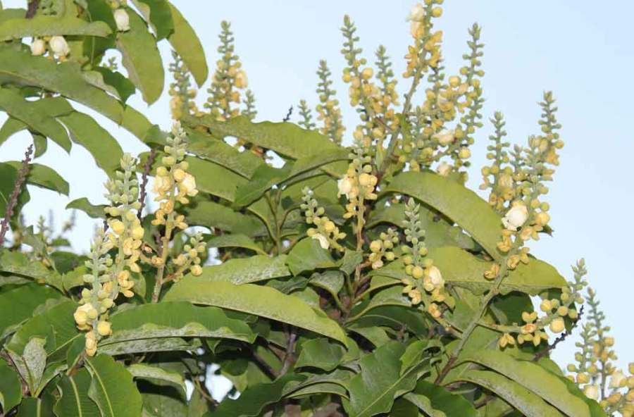 Infloresc-Brazilnut