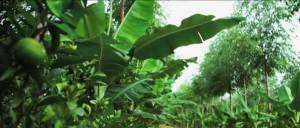 agricultura-sintropica