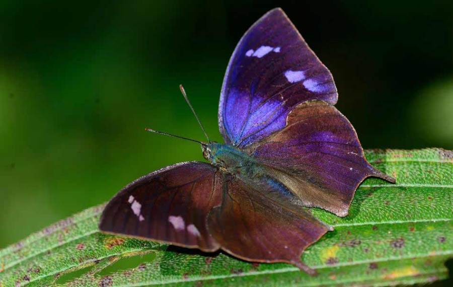 borboletas Memphis otrere