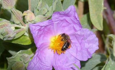 Abelhas melíferas competem com as selvagens pelo mesmo habitat