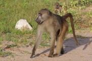 Chacma_baboon_(Papio_ursinus_griseipes)_male