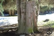 Seltsam dicker Baum beim Obernberger See