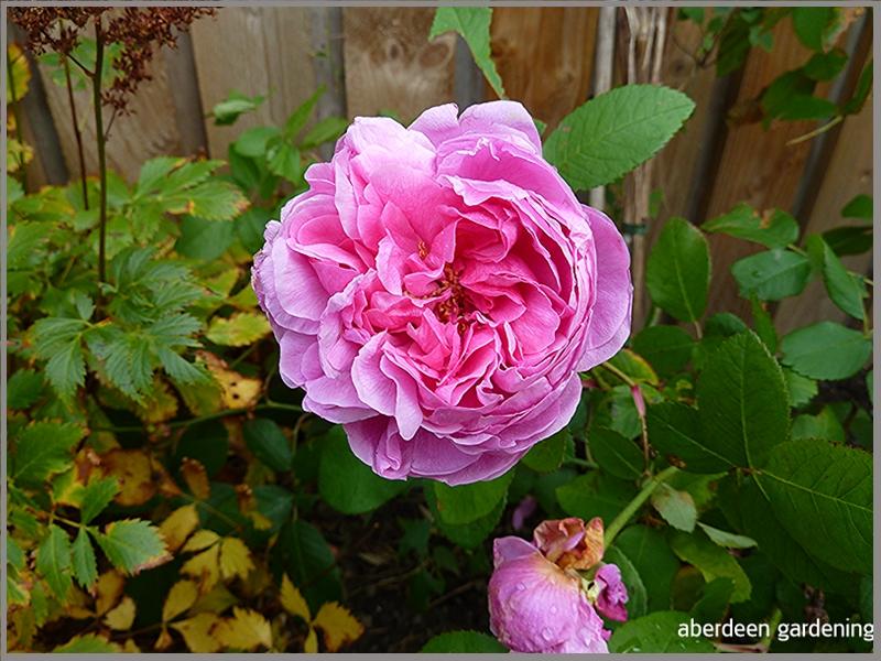 Rose Comye De Chambord
