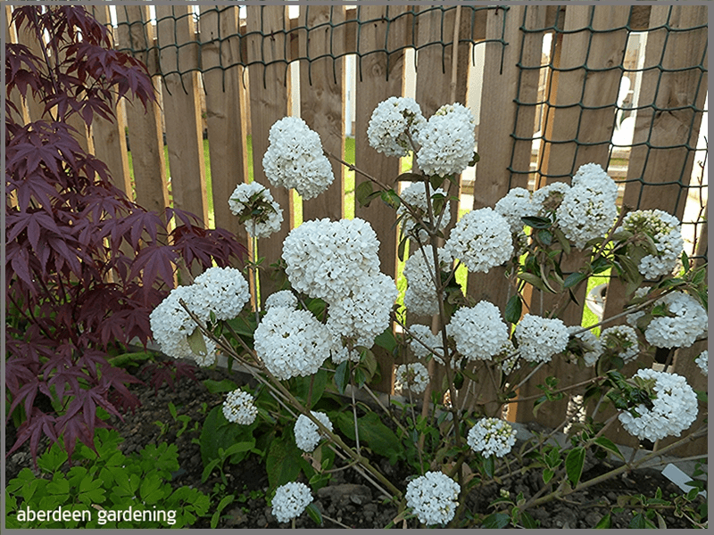 Showing the full shrub of Viburnum eskimo smothered in blooms
